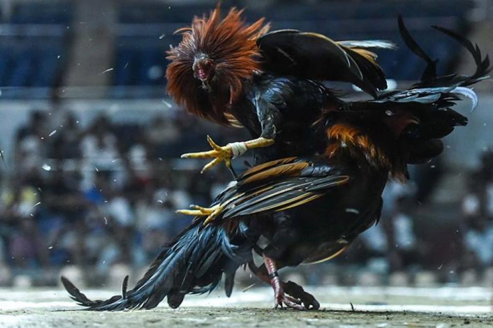 Agen Judi Sabung Ayam