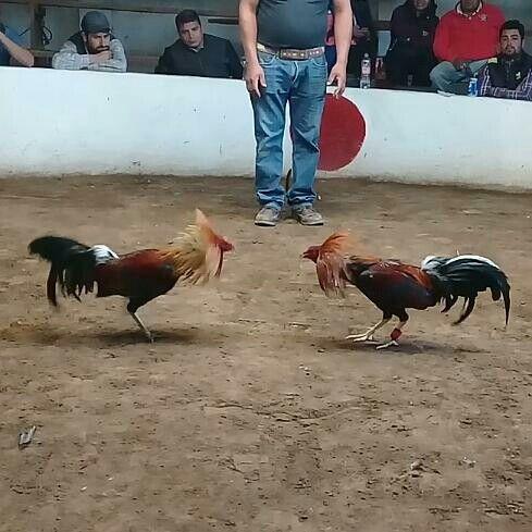 Taruhan Sabung Ayam