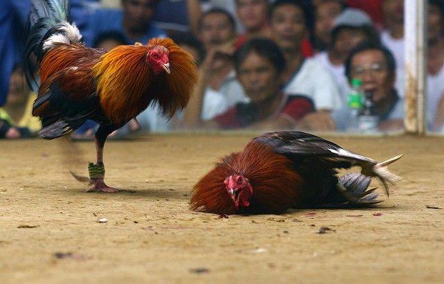 Bandar Sabung Ayam Terkenal
